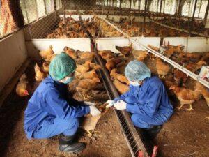 Vệ sinh phòng bệnh cho gà ta thả vườn